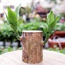 갑조네 행운목 키우기쉬운식물 실내공기정화식물