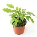 갑조네 녹보수(소) 공기정화식물 녹보수나무 관엽식물